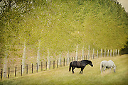 A black and white horse grazing in France.