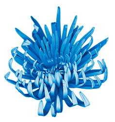 Blue Chrysanthemum Flower