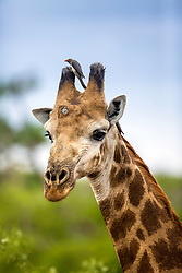 A giraffe and his oxpecker. Oxpeckers are birds that live off the parasites of Africa's mammals like this giraffe.