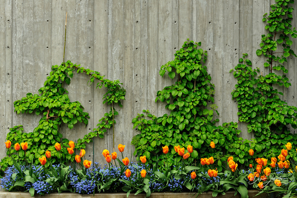 Butchart Gardens- Wall with vines and tulips, Victoria, BC, Canada