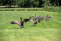 GELDROP - Golfclub Riel, 9 holes baan. , Ganzen in de baan.   COPYRIGHT KOEN SUYK