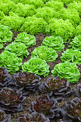 Salanova lettuces - Lettuce 'Gaugin' (dark) and 'Archimedes' (green)