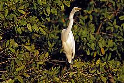 Great Egret, Mrazek Pond