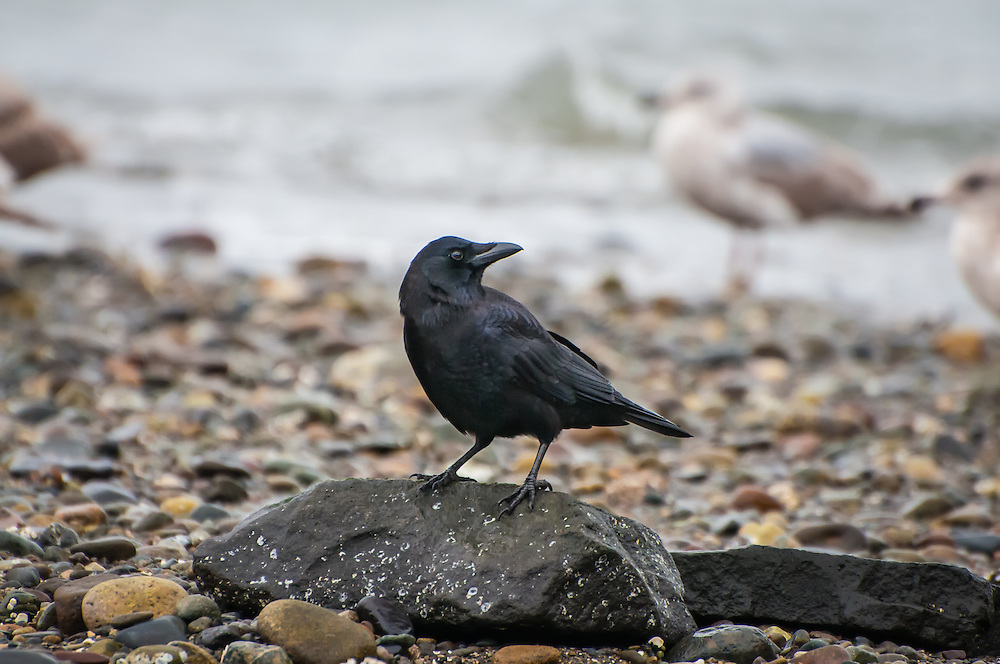Slightly smaller with a more slender body than the common American crow, the northwestern crow (Corvus caurinus) seen here was photographed on the shore of Washington's Puget Sound - the southernmost point of its range. This crow is only found near the coast from the Puget Sound, the entire coast of British Columbia, and the southernmost shores of Alaska.