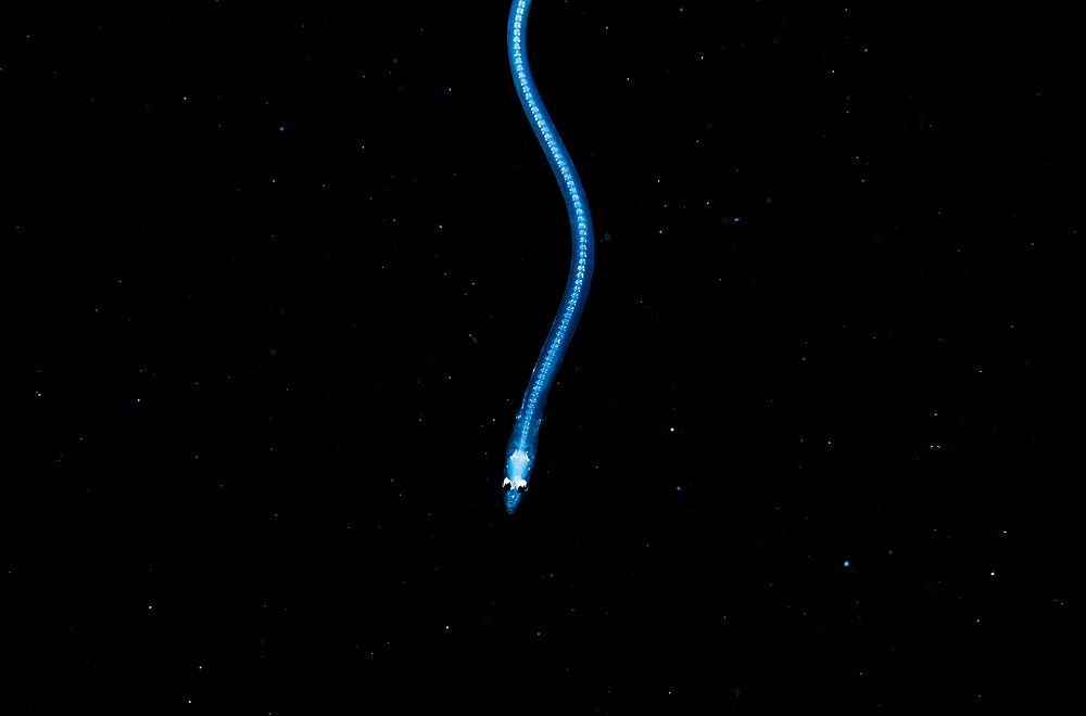 A larval moray eel (Leptocephalus) at night in The Bahamas.