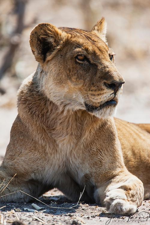 A close-up portrait of a lioness (Panthera Leo) laying in morning sun, Savuti, Chobe National Park, Botswana,Africa