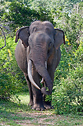 Asian elephant bull with big tusks grazing on vegetation, Yala National Park, Sri Lanka