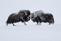 Muskox fight (Ovibos moschatus), NORWAY/DOVREFJELL-SUNNDALSFJELLA NATIONAL PARK. The muskox was one of the typical tundra species that lived together with reindeer, woolly rhinoceros and mammoth on the tundras of the Ice age. These large grazers and browsers were easy to hunt, and therefore quickly exterminated by early Man. The mammoth and woolly rhino disappeared forever, but the muskox survived in the extreme north of Greenland and Canada, and over the last few decades has been re-introduced to several sites in Scandinavia, western Greenland and the Russian tundra. Like here in Dovrefjell. An incredible survivor, this relative of the goat lives from minute creeping willow bushes and grass, while enduring wintertime temperatures of minus 40° or lower.  Their eyes have a specially built retina to handle the extreme amounts of ultraviolet light in the Arctic environment.  The main predator on muskox, apart from Man, is the wolf, against which they form a defensive circle to protect their calves.