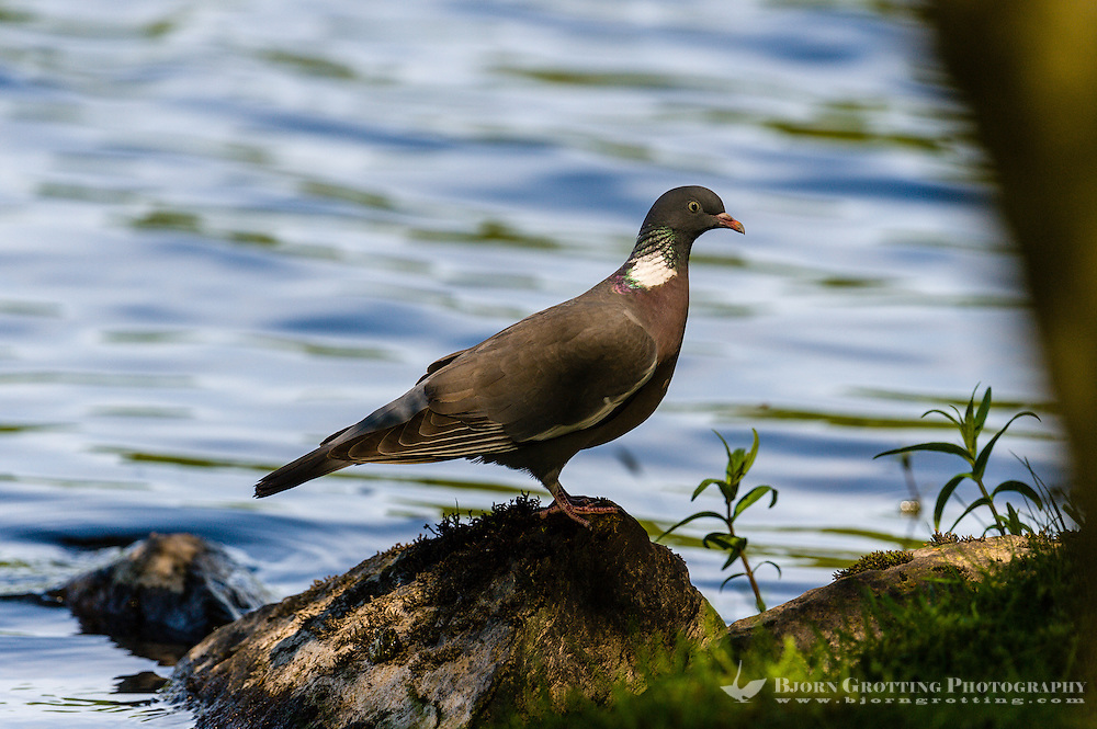 Norway, Stavanger. Common wood pigeon.