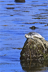 Harbor Seal On Rock