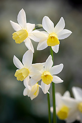 Narcissus 'Sailboat' AGM - Daffodil