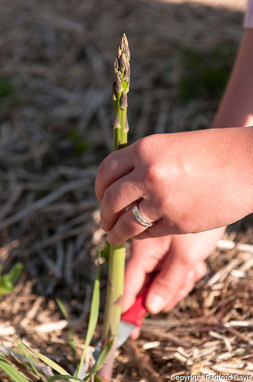 Harvesting asparagus, one stalk at a time.