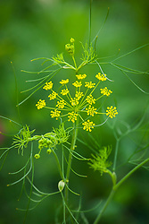 Ridolfia segetum. Corn Parsley, False Fennel