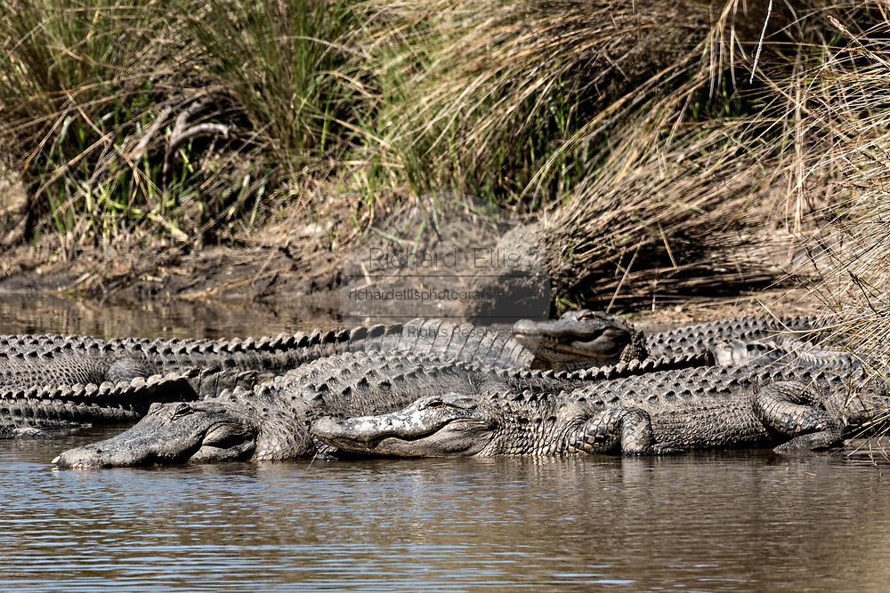 American alligators bask along the waters edge at the Donnelley Wildlife Management Area March 11, 2017 in Green Pond, South Carolina. The preserve is part of the larger ACE Basin nature refugee, one of the largest undeveloped estuaries along the Atlantic Coast of the United States.