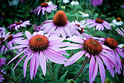 A picture of a group of purple daisies. Missoula Photographer