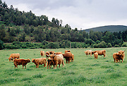 Highland Cattle in Aberdeenshire, Scotland, UK