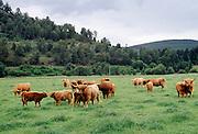 Highland Cattle in Aberdeenshire, Scotland, UK