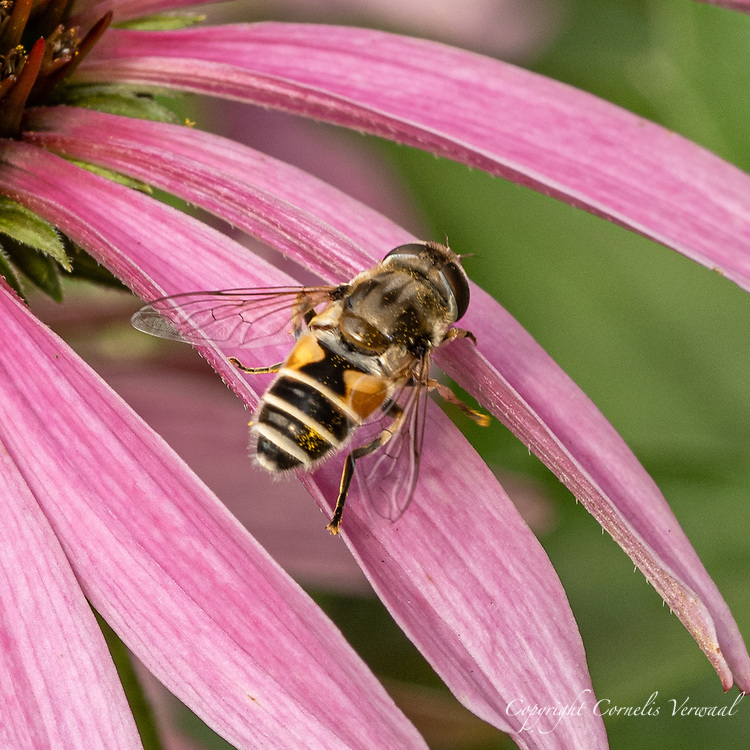 European Drone Fly (Eristalis arbustorum) (introduced to North American in the late 1800's) on a purple coneflower in Central Park July 28, 2021