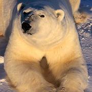 Polar Bear, (Ursus maritimus) Large male. Churchill, Manitoba. Canada.