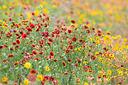 Field of Greenthread and Indian Blanket Wildflowers in Texas