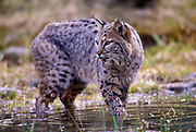 A male bobcat (Felis rufus) in water.