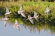 Flock of Short-Billed Dowitchers in flight.(Limnodromus griseus).Bolsa Chica Wetlands,California