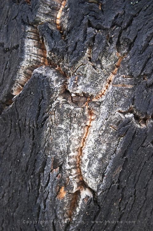 Cork oak tree. JM Jose Maria da Fonseca, Azeitao, Setubal, Portugal