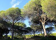 Stone pine trees, Pinus pinea, Parque Natural de Acantilado, Parque Natural de La Brena, Barbate, Cadiz province, Spain