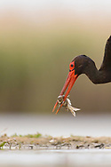 Black stork, Ciconia nigra, Pusztaszer protected landscape, Kiskunsagi, Hungary