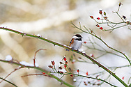 A Chestnut-backed Chickadee (Poecile rufescens) perches on a rose branch in the snowy Fraser Valley of British Columbia, Canada