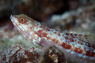 Synodus binotatus (Twospot Lizardfish)