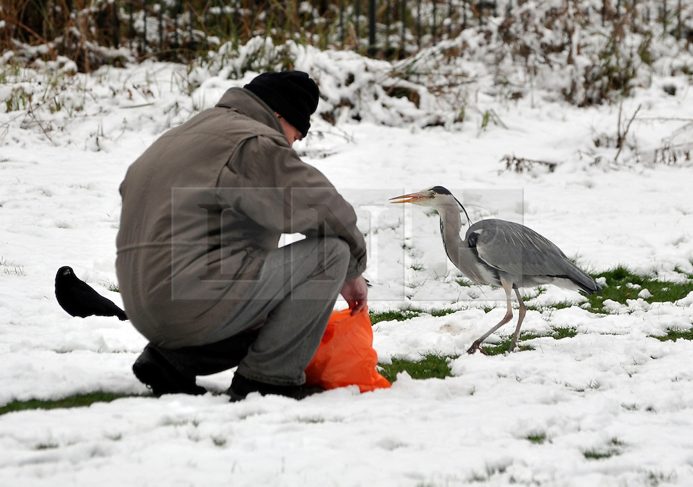 © Licensed to London News Pictures. 10/02/2012, London, UK. A man feeds a heron in the snow. People enjoy the snow in the grounds of Chiswick House in West London today 10 February 2012. Chiswick House, undergoing restoration,  is the first and one of the finest examples of neo-Palladian design in England.  Inspired by the architecture of ancient Rome and 16th Century Italy, the third Earl of Burlington built the house as a homage to Renaissance architect Palladio.The cold weather across the UK is set to continue over the weekend.  Photo credit : Stephen Simpson/LNP