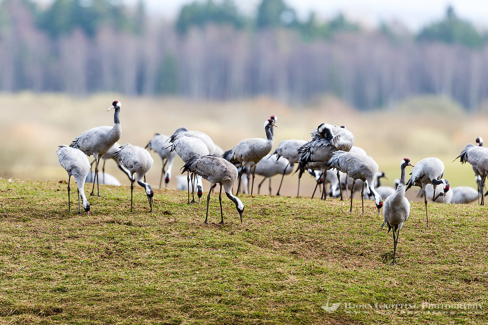 Sweden, Lake Hornborga. Annual migration of Common Cranes.