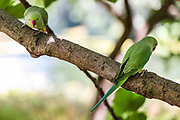 """View of two wild green parakeets on a tree branch in St James' Park in central London on Monday, June 22, 2020. Wild green parakeets are interacting with the public around St James' Park. <br /> Dubbed """"posh pigeons"""" by unimaginative Londoners, these brilliant green parakeets stand out among the fauna of Northern Europe's mostly grey cities. The story of how they ended up in London is a matter of some discussion and plenty of myth. <br /> Unverified various sources say that parakeets escaped from the branch of Ealing Studios used for the filming of The African Queen """"Isleworth Studios"""" in 1951. Parakeets escaped from damaged aviaries during the Great Storm of 1987. A pair were released by Jimi Hendrix in Carnaby Street, London, in the 1960s. (Photo/ Vudi Xhymshiti)"""