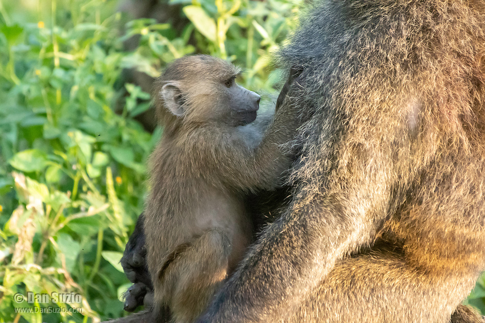 A female Olive Baboon, Papio anubis, holds her baby in Lake Nakuru National Park, Kenya