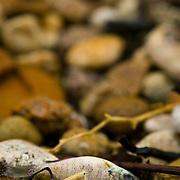 Idaho, Canyon County, Deer Flat National Wildlife Refuge, Nampa, dead fish lying on the rocky shore