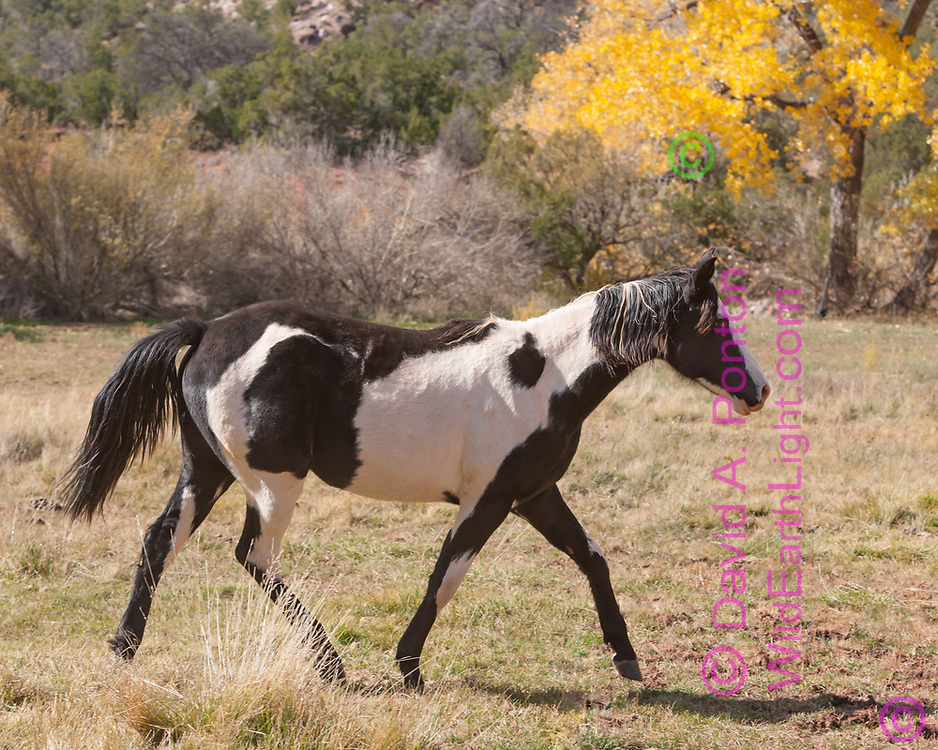 Young black and white pinto mare walks across field in Jemez country in autumn, New Mexico, © David A. Ponton