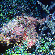 Spotted Scorpionfish most commonly inhabit reefs, but can be found in all bottom habitats in Tropical West Atlantic; picture taken Grand Cayman.