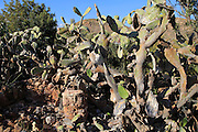 Prickly pear cactus plants botanical gardens at Rodalquilar, Cabo de Gata natural park, Almeria, Spain
