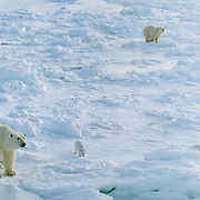 Adult polar bears and an Arctic fox on the frozen shores of Hudson Bay, Canada.