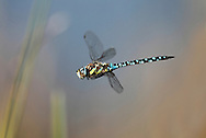 Migrant Hawker Dragonfly - Aeshna mixta - In flight. 7.9.2012