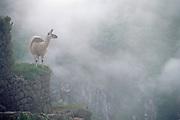 Machu Picchu - ancient Inca Ruins<br />morning mist with llama<br />PERU. South America