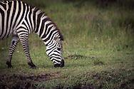 A zebra grazing in the Masai Mara National Reserve, Kenya, Africa