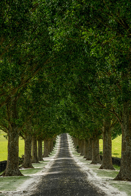 Edition of 17<br /> Tree lined lane at entrance to the Red Barn Wedding and event venue in Waikato, New Zealand on the North Island