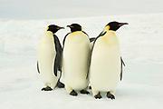 Emperor penguin, Aptenodytes forsteri, group of adults, Snow Hill Island, Erebus and Terror Gulf, Antarctic Peninsula, Antarctica, three