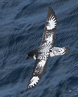 Cape Petrel (Daption capense). South Atlantic Ocean. Viewed from the deck of the Hurtigruten MS Fram. Image taken with a Nikon Df camera and 80-400 mm lens.