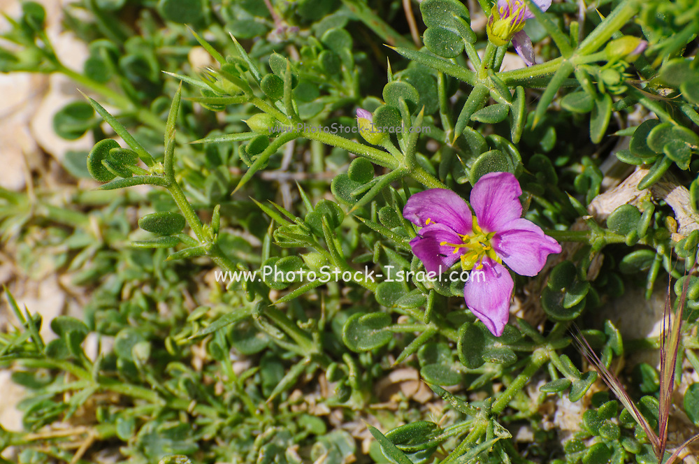 Fagonia glutinosa Sticky Fagonia Photographed in Israel in March