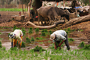 Planting rice near Alexandria, Egypt. Water buffalo tethered nearby. (Supporting image from the project Hungry Planet: What the World Eats.).