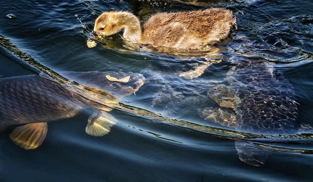These baby gosling finally showed these two carp who was boss and got to the bread first.