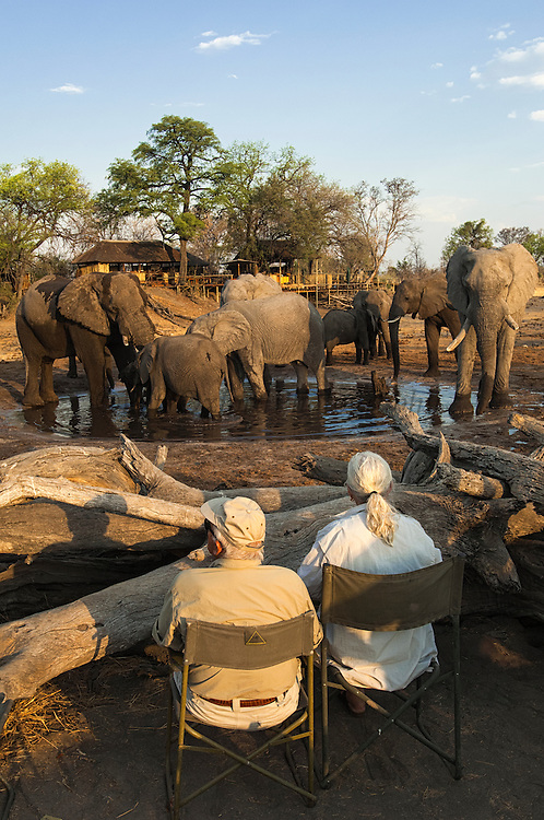 African elephants (Loxodonta africana) drinking at Savuti Elephant Camp waterhole. Tourists are in a log pile hide at the waterhole.<br /> Savuti Channel in the Linyanti area.<br /> BOTSWANA. Southern Africa.<br /> HABITAT: Woodland savanna near water.<br /> STATUS: Botswana is one of the stongholds of the African elepant where their numbers are increasing.<br /> These are the world's largest land mammals with a shoulder height of 3 meters and weighing 6,000kg-male and 4,000-5,000kgs for females.<br /> Bulls and cows live in separate groups. Breeding herds generally consist of a dominant female or matriarch with a few closely related females and their offspring. Bulls are often found alone or in loosely bonded bachelor groups.<br /> Due to heavy poaching all over Africa CITES (Convention on International Trade in Endangered Species) has banned the trade of ivory products. <br /> At the end of the dry season (around late October) there is very little water near available food so they have large distances to travel from the water in order to find enough food.